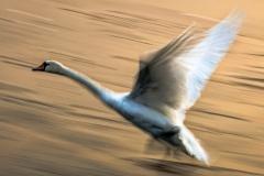 Blurred swan