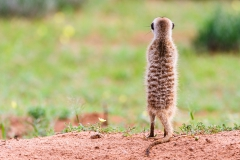 The Meerkat Lookout