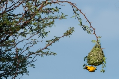 Southern Masked Weaver Nest