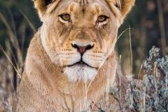 Kgalagadi Lioness