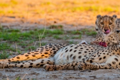 Cheetah Mother and cub on a kill