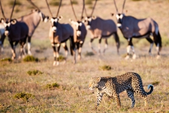 Gemsbok and Leopard