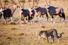 Gemsbok and Leopard