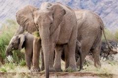 Desert Elephant Herd