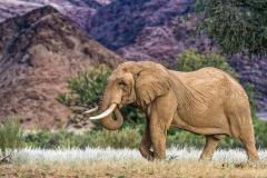 Desert Elephant bull