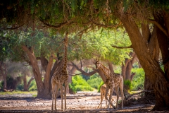 Hoanib Giraffes