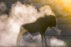 Steamy Wildebeest