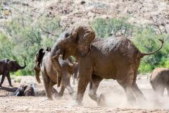 Huab Desert Elephants
