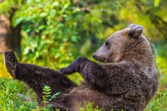 Brown Bear stretching