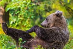 Brown Bear stretching