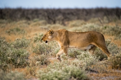 Lioness returning home
