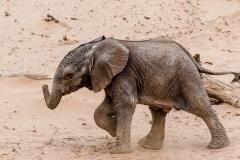 Desert Elephant calf with a purposeful stride